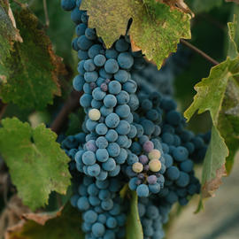 wine grapes hanging in vineyard